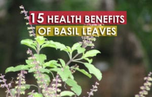 Tulsi basil leaves